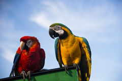 Two parrots Stock Image