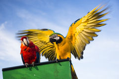 Two parrots. Two macaw parrots are looking at camera royalty free stock photo