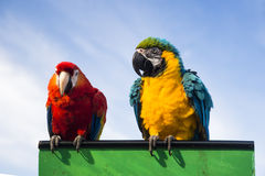 Two parrots Stock Photo