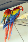 Two parrots. The macaw Stock Photos