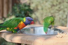 Looks like a rainbow lorikeet parrot is drinking water from a bowl stock image