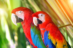 Two parrots red in tropical forest birds Royalty Free Stock Photos