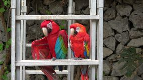 A two parrots resting in the perch. Video stock video