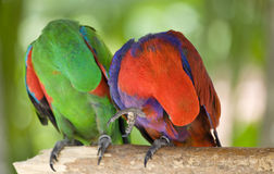 Two parrots scratch wing with beak Stock Image
