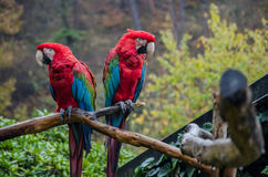 Two parrots. Sit on a branch in the autumn zoo Stock Images