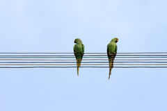 Two parrots sit on electrical wires Stock Photography