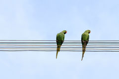 Two parrots sit on electrical wires Stock Image
