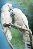 Two parrots sitting on a branch. Royalty Free Stock Photos