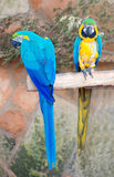 Two parrots. Royalty Free Stock Photo