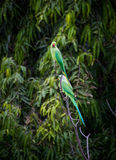 Two parrots Stock Images