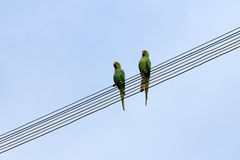 Two parrots Royalty Free Stock Photo