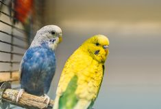 Two parrots sitting on a stick in pet shop Royalty Free Stock Image