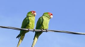 Two Parrots standing and playing. At telephone pole stock video
