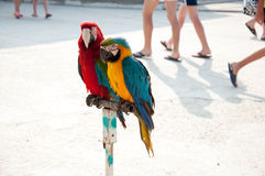 Two parrots on the streets of Anapa, Royalty Free Stock Images