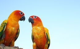 Two parrots on timber. Parakeet on the wood. Cute green bird on. Timber wood. Two Parrot Sun conure lovely stock images