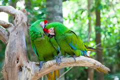 Two parrots on a tree. Two Eclectus parrots sitting on a tree Stock Images
