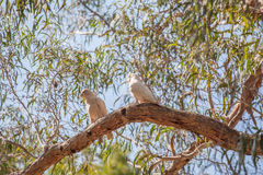 Two parrots on a tree branch at Grampians National Park Stock Photo