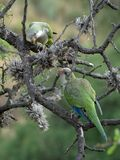 Merlo parrots. Two parrots on a tree in Merlo, San Luis, Argentina royalty free stock photo