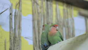 Two parrots on a tree swing stock video footage