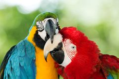 Two parrots. A yellow and blue and  a red Royalty Free Stock Images