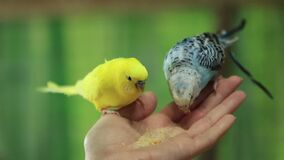 Parrots Hand-Feed. Two parrots yellow and blue sits on a woman`s palm and eats breadh crumbs 1080p, 25fps, 1/2 of realtime stock video footage