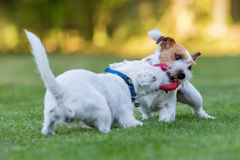 Two Parson Russell Terrier fighting for a toy Royalty Free Stock Photo