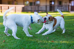 Two Parson Russell Terrier fighting for a toy Stock Images