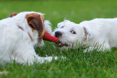Two Parson Russell Terrier fighting for a toy Royalty Free Stock Image