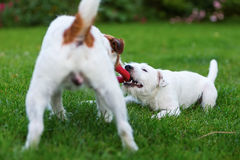 Two Parson Russell Terrier fighting for a toy Stock Photos