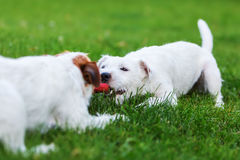 Two Parson Russell Terrier fighting for a toy Stock Photo