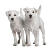 Two Parson Russell Terriers standing Stock Photos