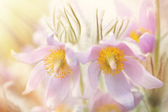 Two pasque flower blossoms in spring Stock Photography