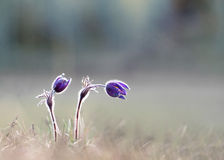 Pasque flowers Royalty Free Stock Image