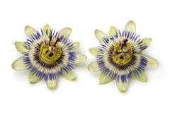 Two Passiflora edulis flowers. Isolated on white background royalty free stock images