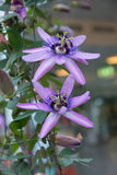 Two passion flowers Stock Image