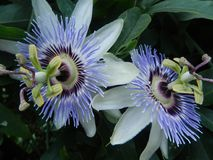 Two passion flowers. Two purple passion flowers amongst leaves Stock Images