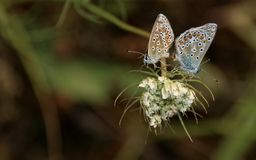 Two pastel blue butterflies tail to tail. On white flower Royalty Free Stock Photography