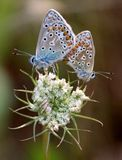 Two pastel blue butterflies tail to tail. On white flower Stock Photos