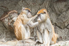 Two patas monkey, One grooming the other Stock Photos