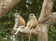 Patas Monkey in zoo. Two Patas monkeys sitting on tree branch in Houston, Texas zoo Royalty Free Stock Photos