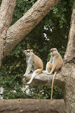 Patas Monkey in zoo. Two Patas monkeys sitting in tree in Houston, Texas zoo Stock Image