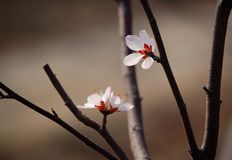 Two peach flower Stock Photography