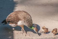 Two Peachicks and Peahen Stock Images