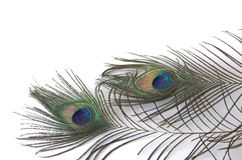 Two peacock feathers. Isolated on a white background with copy space Royalty Free Stock Image