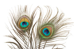 Two peacock feathers close up Stock Photos