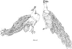 Two peacocks, black and white vector illustration. Hand drawing royalty free illustration