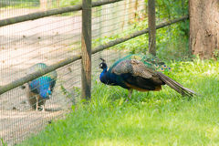 Two peacocks Stock Images