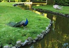 Two peacocks form Yin-Yang symbol Stock Photography