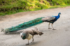 Two peacocks in the garden Royalty Free Stock Image
