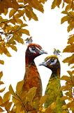 Two peacocks painted in fall colors on a white background. Autumn concept. stock image